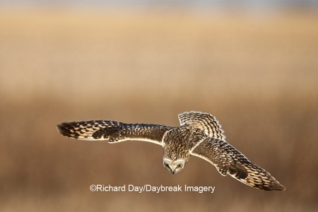 Short-eared Owl in flight at Prairie Ridge State Natural Area, Marion Co., IL