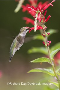 Immature Ruby-throated Hummingbird on Pineapple Sage