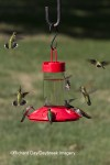 Ruby-throated Hummingbirds at Dr. JB&#039;s Hummingbird Feeder at Daybreak Imagery