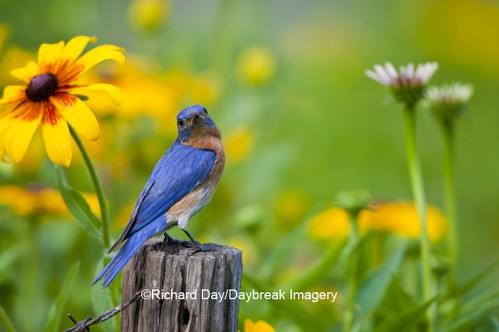 Eastern Bluebird male in flower garden at Daybreak Imagery