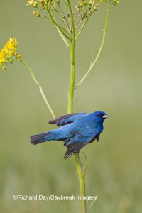 Male Indigo Bunting at Daybreak Imagery