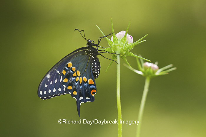Black Swallowtail butterfly (Papilio polyxenes) male on Cosmos bud