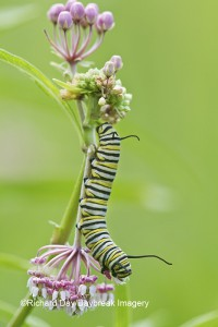 Monarch (Danaus plexippus) caterpiller on Swamp Milkweed (Asclepias incarnata)