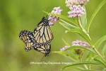 Monarch butterflies (Danaus plexippus) mating on host plant -- Swamp Milkweed (Asclepias incarnata)