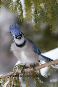 Bad Hair Blue Jay With An Attitude!