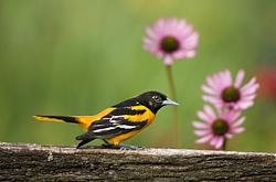 Baltimore Oriole at Daybreak Sanctuary